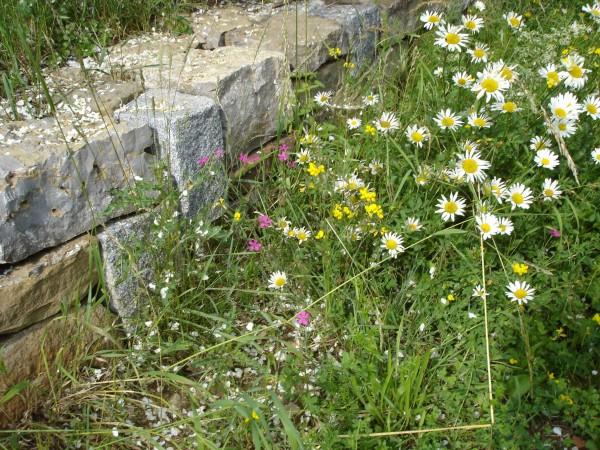 Mischung-13-Blumenrasen_Kraeuterrasen-Bild-1.jpg