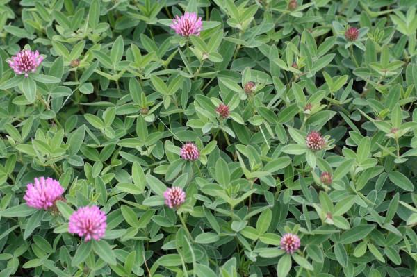 Rotklee (trifolium pratense)