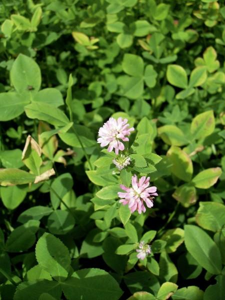 Perserklee (trifolium resupinatum)
