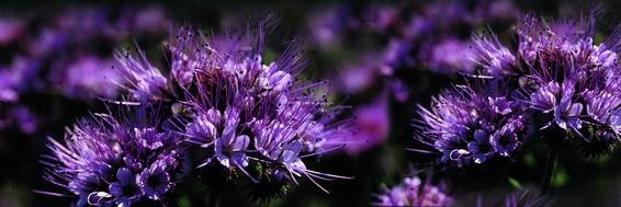 Phacelia tanacetifolia - Bienenweide Mantelsaat
