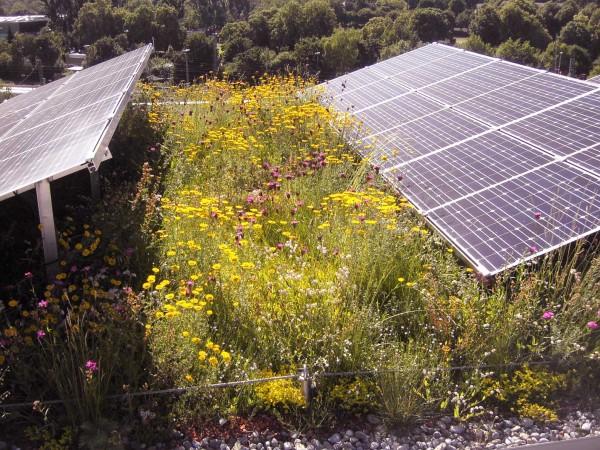 Dachbegrünung/ Saatgut 50% Blumen/ 50 % Gräser - heimisches Saatgut autochthon