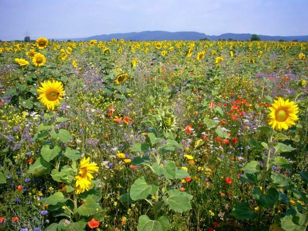 Blühende Landschaft - heimisches Saatgut autochthon