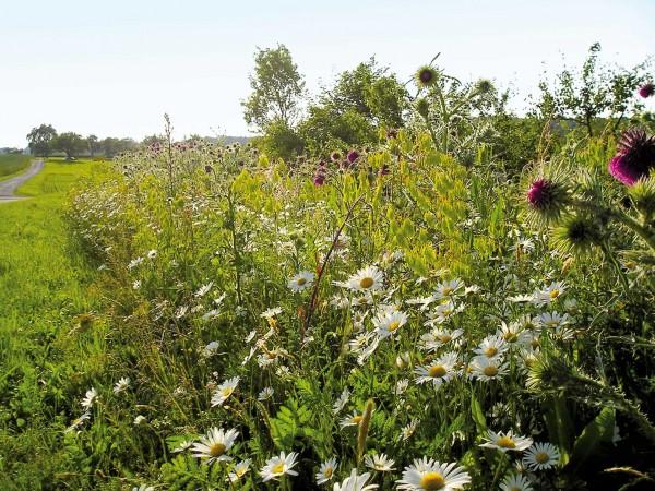 Mischung-08-Schmetterlings-und-Wildbienensaum-Bild-1.jpg