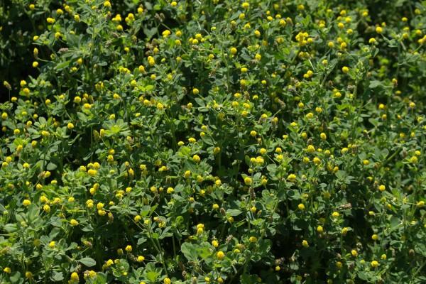Gelbklee medicago lupulina MANTELSAAT